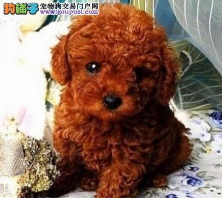 桂林名牌基地直销泰迪幼犬 建议大家上门看狗选购爱犬4