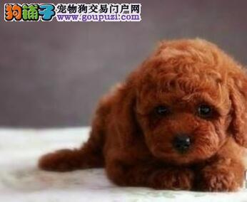 哈尔滨周边犬舍繁殖出售纯正泰迪犬 疫苗驱虫已做好