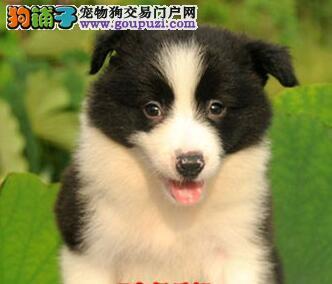犬舍出售纯种哈尔滨边境牧羊犬 价格低廉品质高保健康