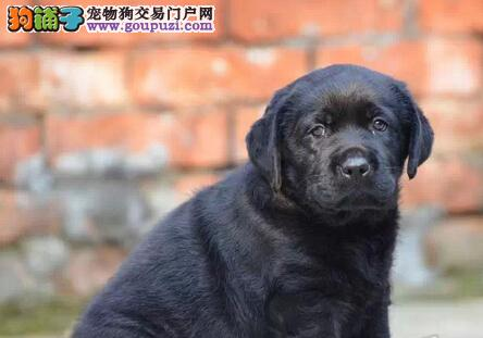 精品拉布拉多幼犬一对一视频服务买着放心看父母照片喜欢加微信