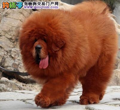 广州实体獒园实物拍摄出售藏獒幼崽 毛量好骨量大