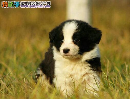 家养纯种边境牧羊犬转让南京地区上门购买可优惠
