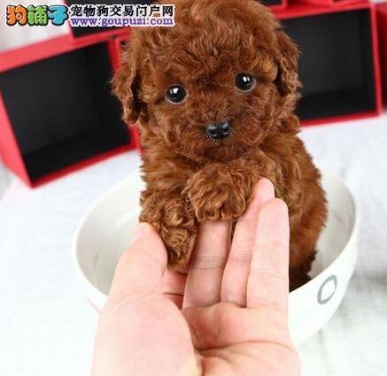 诚信交易广州自家纯种泰迪犬健康终身保障签协议送用品1