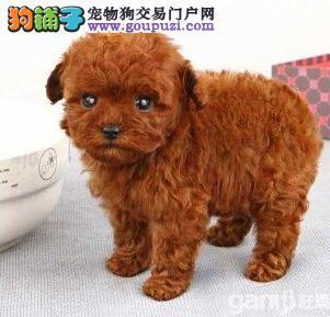 诚信交易广州自家纯种泰迪犬健康终身保障签协议送用品2
