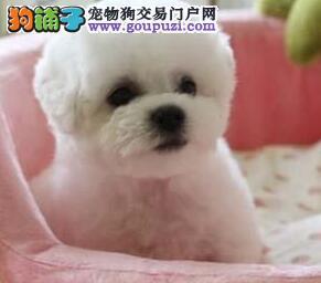 贵阳出售最可爱圆脸比熊犬纯种棉花糖乖巧比熊健康