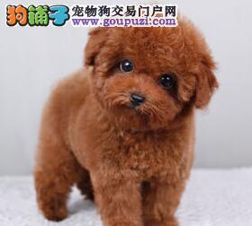 阜阳犬场直销多色泰迪犬 可挑选品质保证送用品签合同