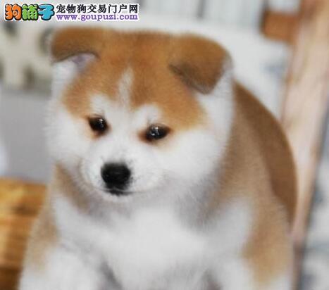 抵挡不了的诱惑 出售纯种太原日系秋田犬 不忽悠的品质