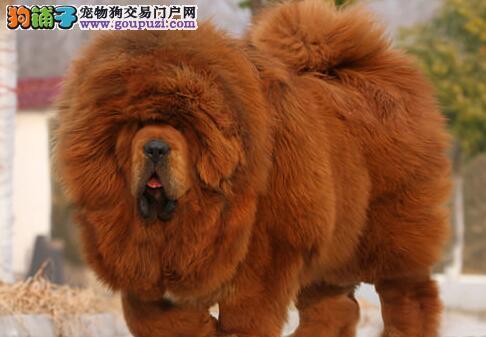 太原常年出售纯种精品藏獒幼犬 专业缔造完美品质