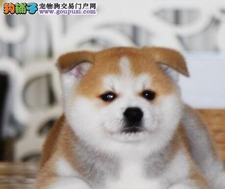 大型实体店促销赛级上海秋田犬公母均有可挑选