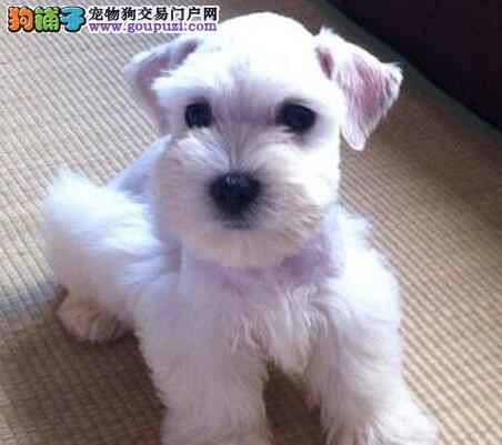 热销纯种健康的石家庄雪纳瑞 多窝幼犬任您选择购买