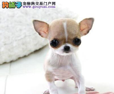 纯种吉娃娃幼崽 一宠一证证件齐全 购犬可签协议