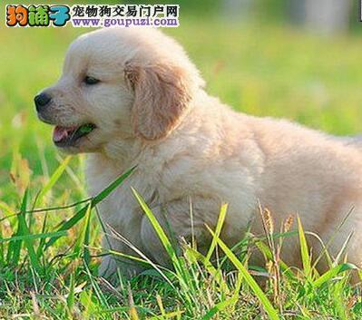 遵义售大头金毛犬 黄金猎犬疫苗驱虫全可视频看狗