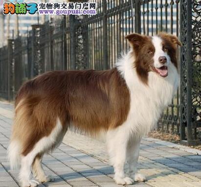 CKU认证犬舍直销/2-5月边境幼犬/纯种健康签订