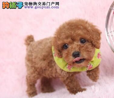 昆明狗场出售茶杯玩具血系的泰迪犬 一分价钱一分货2