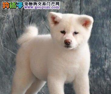 广州纯种日本秋田犬出售 疫苗驱虫已做 包品质健康