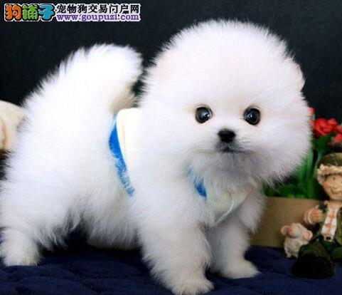 安徽哪里出售博美?合肥哪里出售纯种博美幼犬?