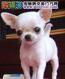 苹果头吉娃娃体型娇小 对其他狗不胆怯 十分勇敢3