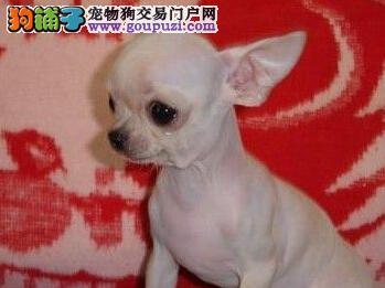 苹果头吉娃娃体型娇小 对其他狗不胆怯 十分勇敢2