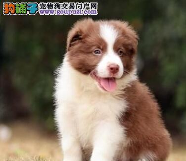 大型养殖场促销广州边境牧羊犬高智商签协议