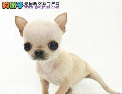 基地热销纯种贵阳吉娃娃幼犬 有血统证书和芯片