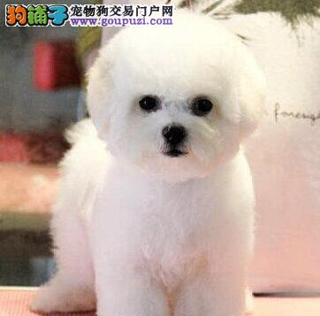 白色纯种卷毛比熊犬健康保证 品质保证 售后保证