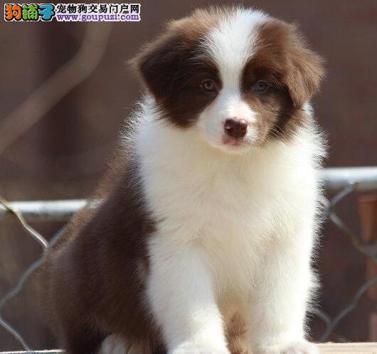 上海七白分明通脖通缝纯血统边境牧羊犬出售签质保协议