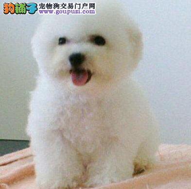 南京比熊犬幼犬出售 微信视频挑选比熊健康质保签协议