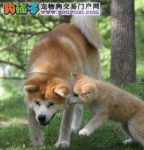 合肥热销身体健康的秋田犬 已做疫苗驱虫保证纯种健康