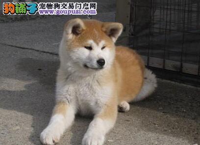 秋田犬幼犬出售 包纯种健康 疫苗驱虫已做 协议质保