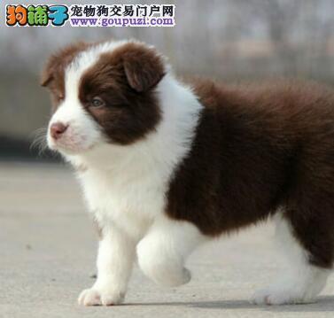 广州出售纯种边境牧羊犬幼犬品质保证公母全有可上门挑