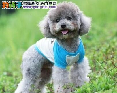 大型专业培育泰迪犬幼犬包健康以品质惊世人