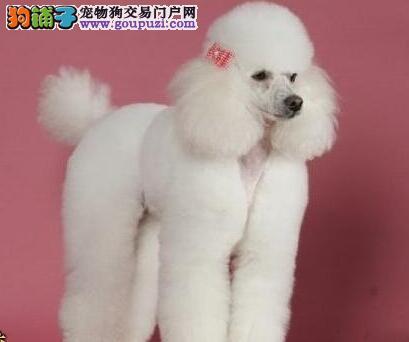 北京家养小巧玲珑的玩具宠物贵宾犬宝宝转让价格有商量