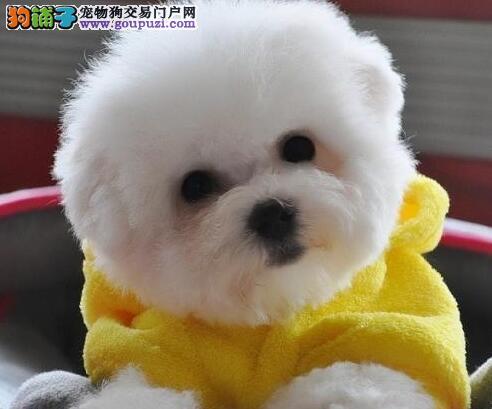 杭州出售可爱棉花糖小比熊犬 纯种健康比熊价格公道
