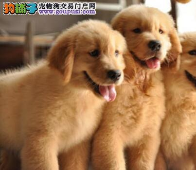 赛级品质温顺聪明的广州金毛犬低价出售 可签订协议