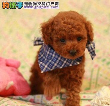 直销出售顶级优秀南宁贵宾犬 颜色多样多只可选保健康