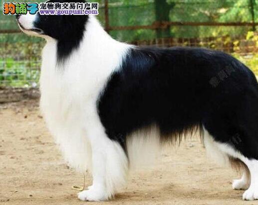 南京哪里有卖边境牧羊犬狗狗包纯种健康多少钱