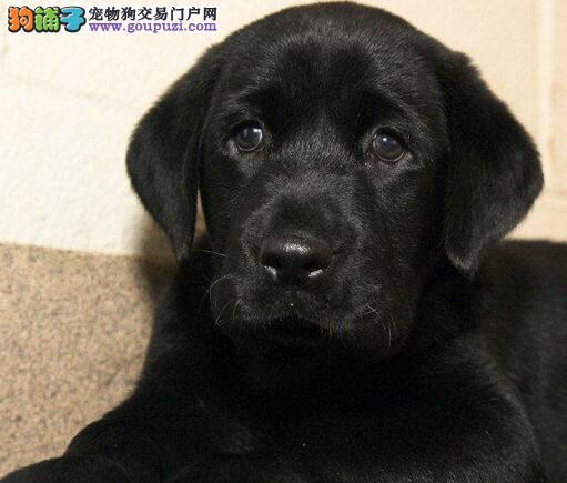郑州犬舍低价热销 拉布拉多血统纯正签订三包合同4