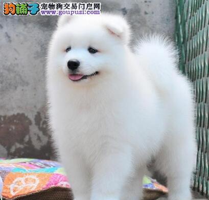 贵阳基地直销萨摩耶犬 保健康保纯种、签售后协议