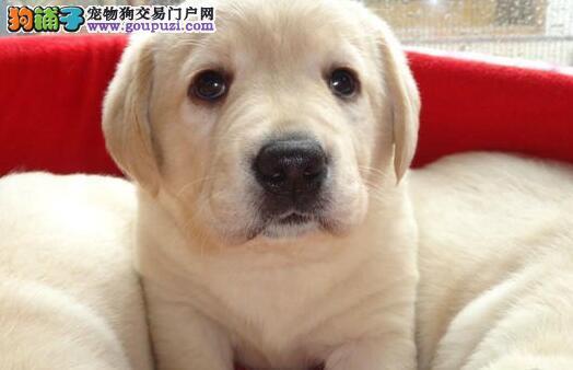 北京售纯种健康拉拉幼犬拉布拉多神犬小七同款欢迎选购