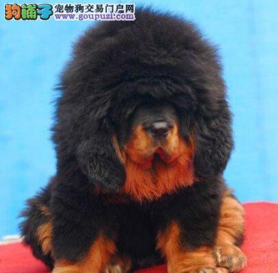 出售上海藏獒幼犬 均有绝对的健康及血统保证价格面议