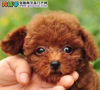 专业繁殖纯种哈尔滨贵宾犬转让品质保证签合同