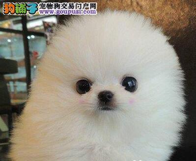 热销博美犬幼犬,品质第一价位最低,可签保障协议