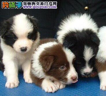 广州狗场出售完美品相的边境牧羊犬 喜欢就速来选购吧3