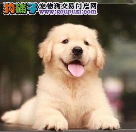 犬业基地直销纯种名犬南昌金毛犬 价格优惠可放心购买