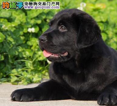 签署协议 保纯度 保健康温州售神犬小七同款拉布拉多犬