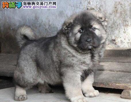 高大威猛的海口高加索犬出售 数量有限速来选购吧