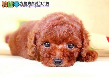 秦皇岛出售纯种健康贵宾犬签协议可见父母欢迎上门选