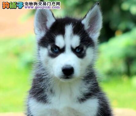 广州犬舍直销哈士奇幼犬 多只幼犬供您选购 欲购从速