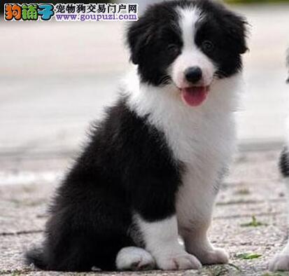 出售大围脖高智商的广州边境牧羊犬 可上门挑选看狗