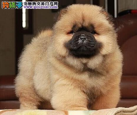 广州狗场直销纯种松狮幼犬 多窝幼犬供您选择 签协议